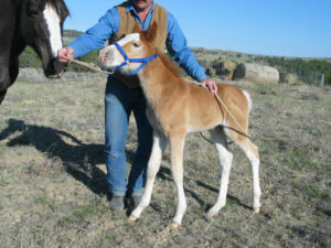 Imprinting Your Foal - Hashknife Horses